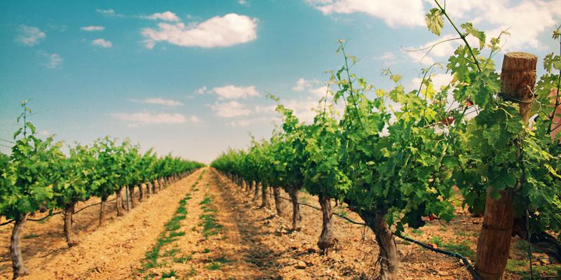 El proyecto Gripevine quiere alcanzar un mejor conocimiento y predicción, mediante inteligencia artificial y big data, de las plagas que afectan a los viñedos.